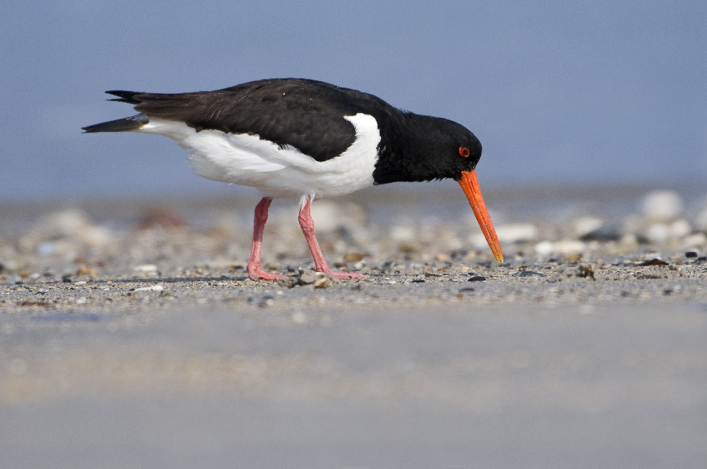 Oystercatchers on the roof? – let us know!