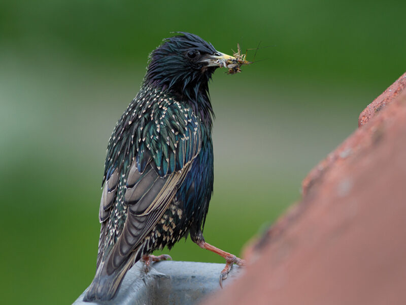 Starling diet on the radio