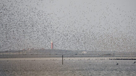 What are the effects of aircraft on birds in the Dutch Wadden Sea?