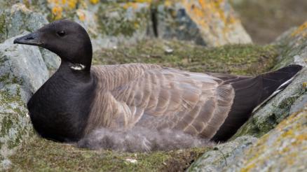 Project arctische trekvogels gehonoreerd in Nederlands Polair Programma